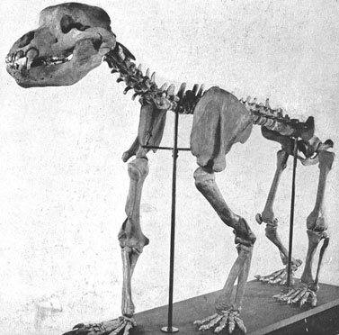 cavebear skeleton