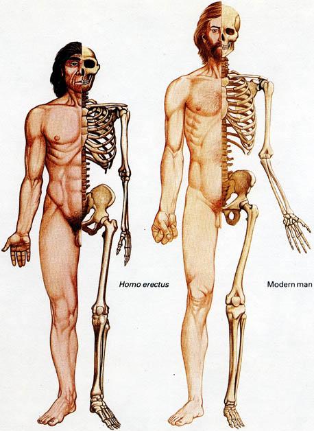 external image erectussapiensbones.jpg