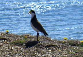 Spur Winged Plover on the headland