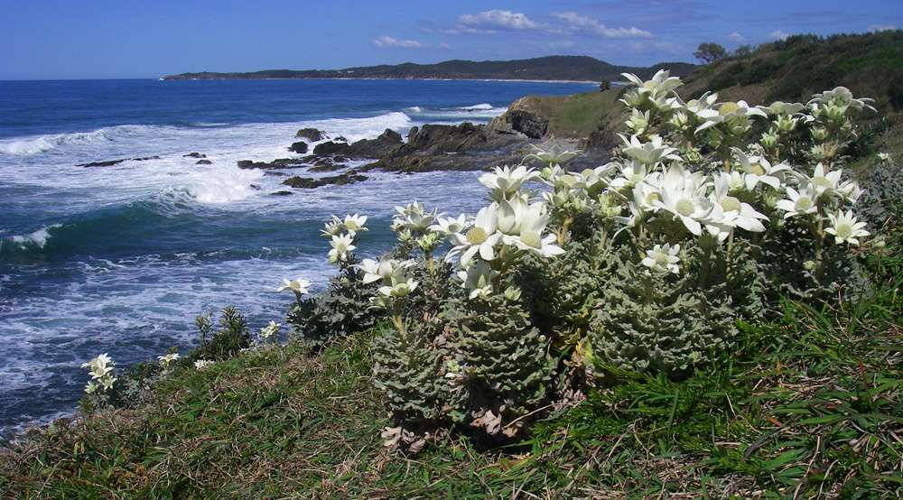 Headland at Minnie Water, looking towards Diggers Camp and Wooli, with Flannel Flowers in the foreground