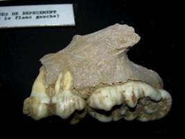 Grotte de Gargas ours bear teeth