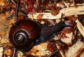 New Zealand land snail