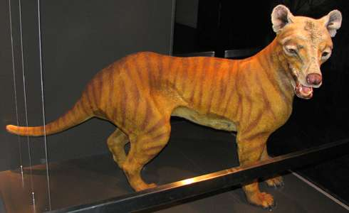 Powerful Thylacine