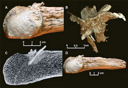 point in mastodon  bone