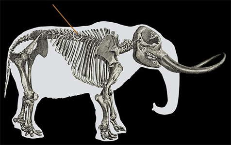 mastodon skeleton with spear