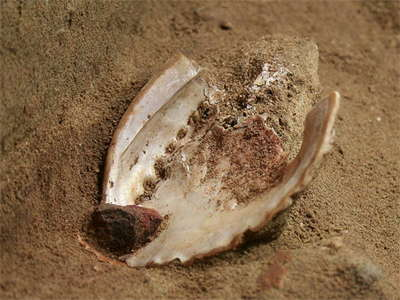 Blombos Cave Shell