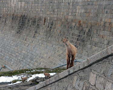 Ibex on dam wall