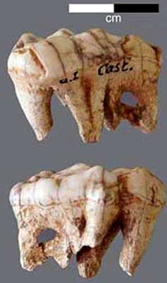 Castel-Merle bear tooth