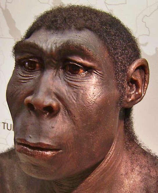 Homo erectus - Homo ergaster