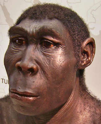 erectus reconstruction