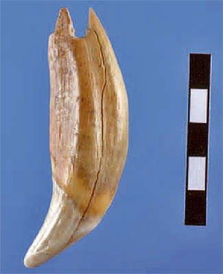 Hohle Fels bear tooth