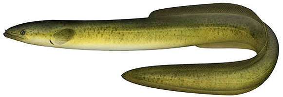 Long finned eel