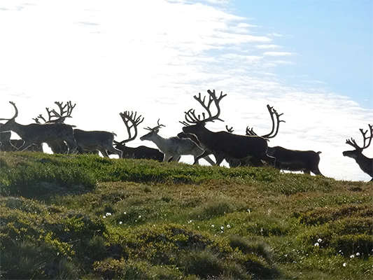 Reindeer on skyline