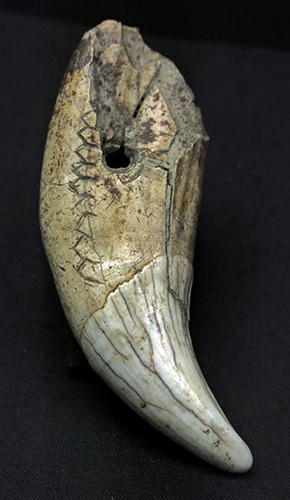 bear tooth engraving