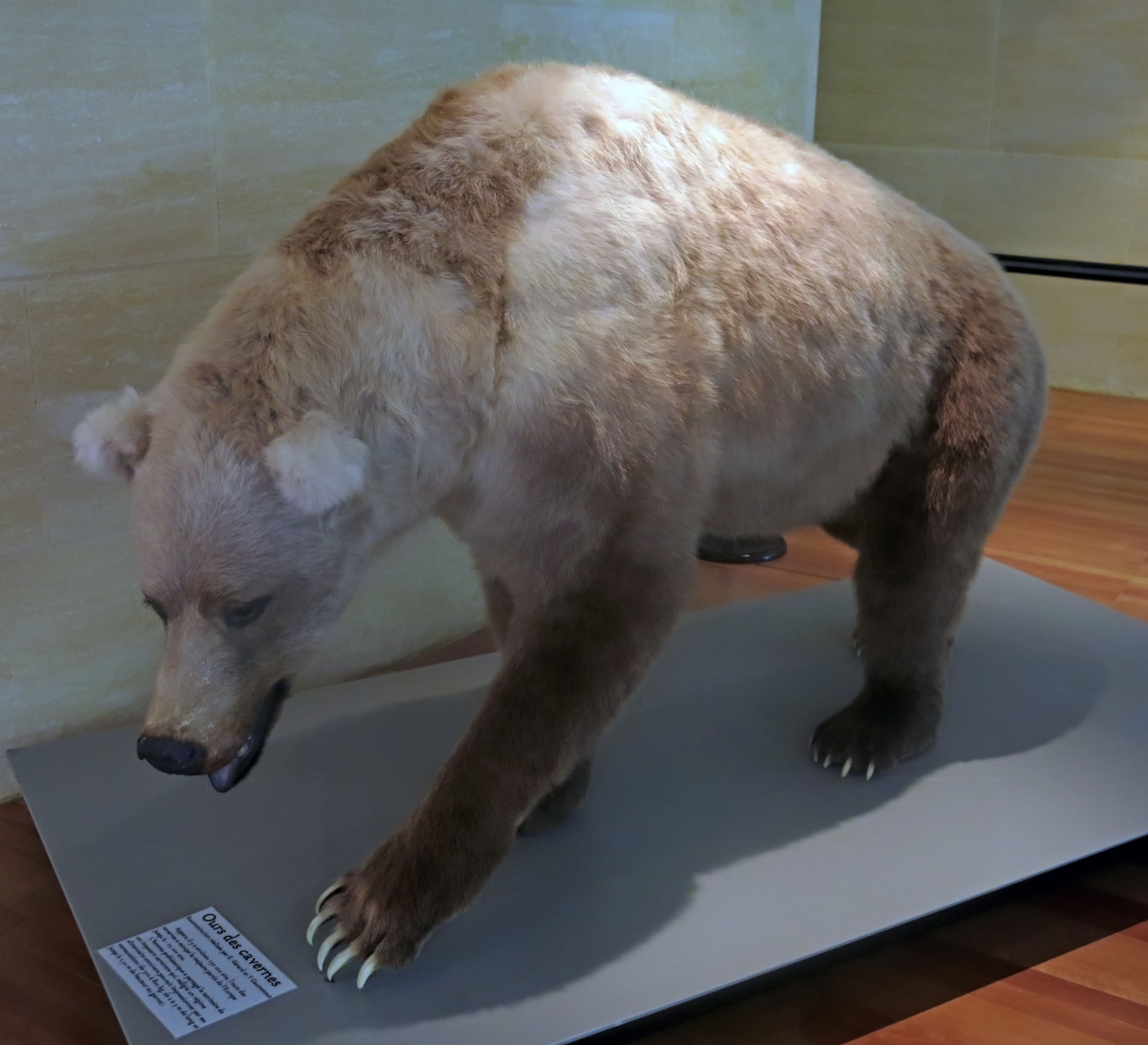 The bear and cavebear in fact myth and legend cave bear buycottarizona Image collections