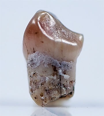 hobbit tooth
