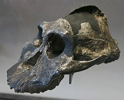 Australopithecus aethi...