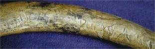 Kurya tusk